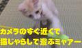 カメラのすぐ近くで猫じゃらしで遊ぶミャアー